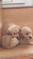 Beautiful Golden Retriever Puppies!