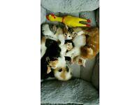 Beautiful mixed breed kittens