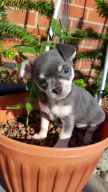 Blue chihuahua | Dogs & Puppies for Sale - Gumtree