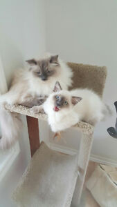 Brother and sister ragdoll cats for adoption