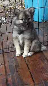 American Eskimo x Keeshond Puppies looking for you Strathcona County Edmonton Area image 4