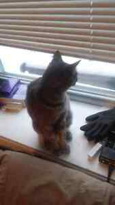 Free friendly cat to a good home! Cambridge Kitchener Area image 7