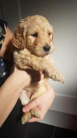 Goldendoodle Pups (Health tested) golden doodle