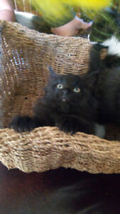 Ragdoll x Main Coon kittens with vaccines and worming!