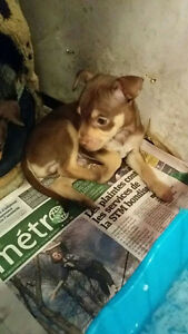chihuahua    for sale   3males  and  1female