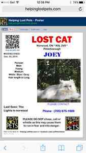 Male shaded silver Persian cat MISSING***