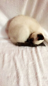 Pure bred Siamese kittens -male and females