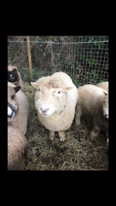 Registered Miniature Southdown ( babydoll)