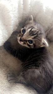Tabby Male and Black Female kittens