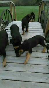 CKC Reg.German Shepherd Pups