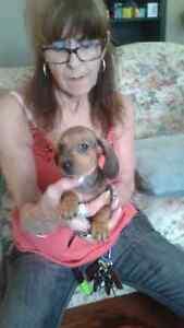 2 mini dashhound short hair puppies
