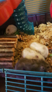 1 male 6 week old baby Siberia dwarf pearl hamster