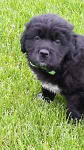 Gorgeous large breed puppies. Retriever x bouvier