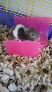 2 free male hamsters, urgently need them gone
