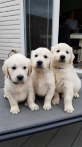 English Cream Golden Retriever puppies