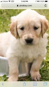 Female Golden retriever puppy