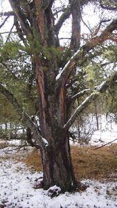 Jack Pine Trees to Harvest