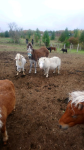Miniture horses, pony and miniature ponies for sale.