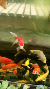 Gold fish  for sale 10 dollars each