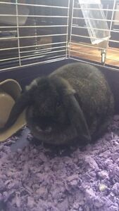 Mini lop rabbit 8months old with cage and all accessories