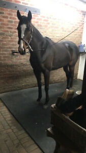 Lovely mare in Caledon available for part-board