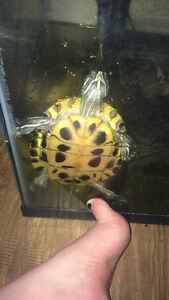 7 year old healthy RES turtle looking for new home