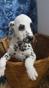 Dalmatian Puppies looking for new homes