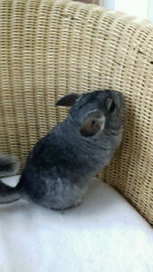 VERY FRIENDLY GREY FEMALE CHINCHILLA FOR SALE