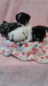 4 Female Chihuahua Puppies For sale(READY FOR XMAS)