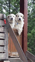 ADULT FEMALE AND MALE GREAT PYRENEES