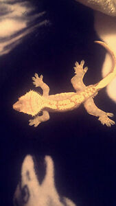 Two Crested Geckos