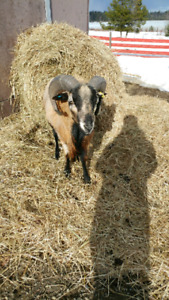 American Blackbelly Ram Lamb (one left!)
