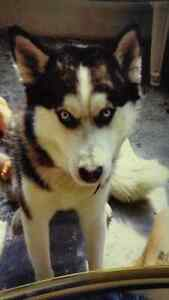 Looking for a Black and White Male Husky Puppy with Blue Eyes London Ontario image 10