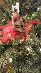 For sale purebred Brown Spotted Bengal kitten