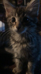 kittens for rehoming ABBOTSFORD