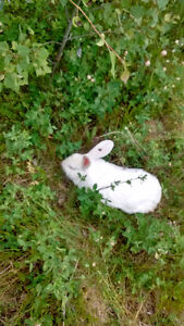 Purebred Flemish Giant and Mini Holland Lops rabbits for sale