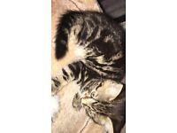 9 weeks old tabby pedigree kitten