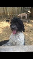 Adult breeding female golden doodle for fostering