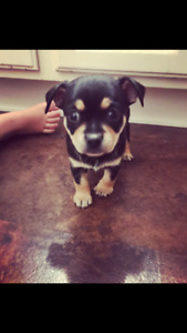 Chihuahua for sale 3 month old tri colour