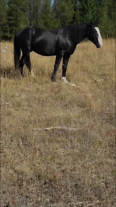 7 year old shire cross stud