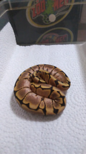 Spider belly ball python