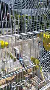 5 Budgies Plus Cage for Sale