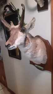 Antilope taxidermie