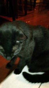 Free cat black male cuddly fixed litter trained