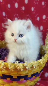 Chatons persan/ Persian kittens
