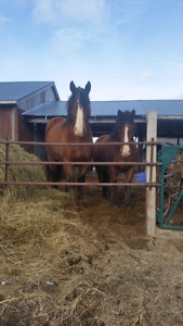 Draft horses for sale by the team or singles