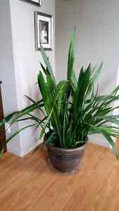 Mother Inlaw plant