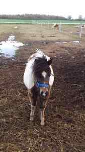 2 yr old pinto filly