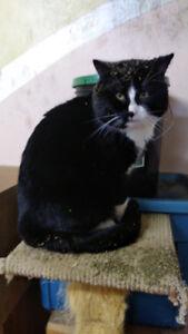 Found tuxedo cat