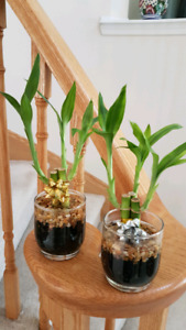 Lucky Bamboo plants in glass pots